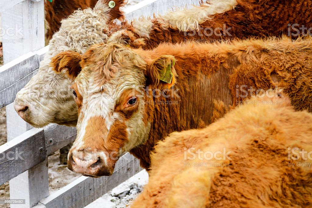 Two calves locked in a corral in Argentina stock photo