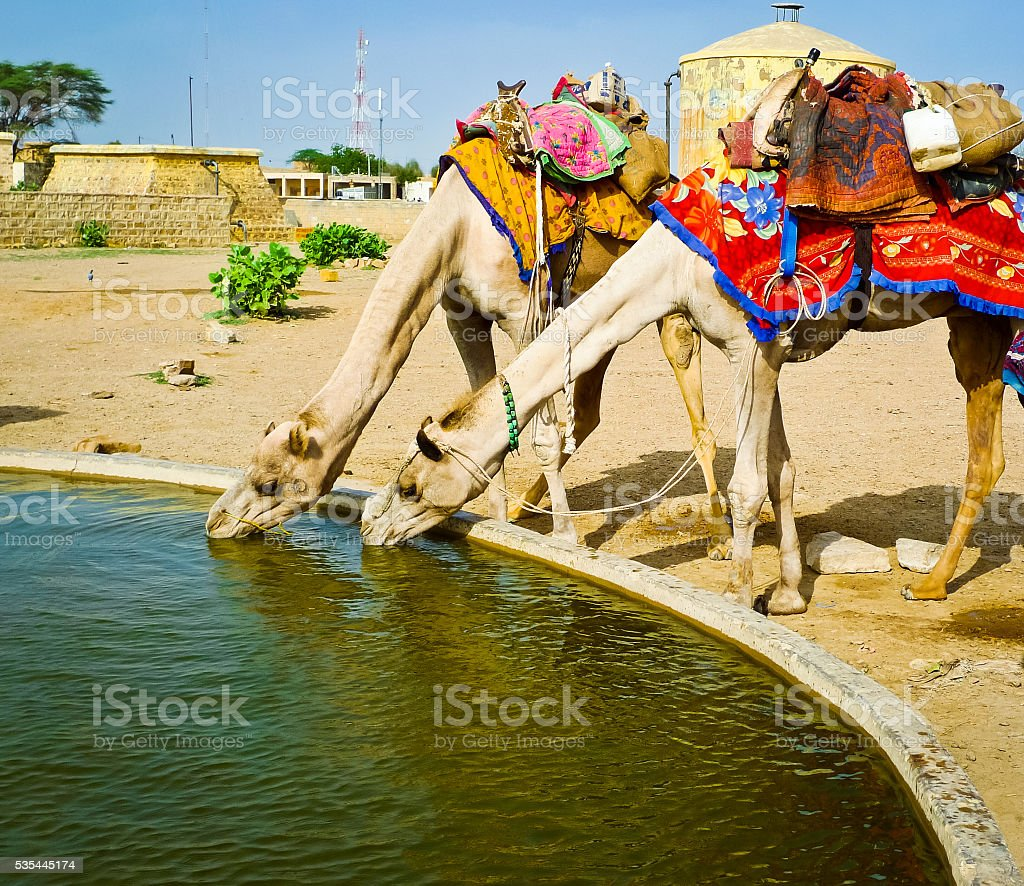 Two camels drinking stock photo