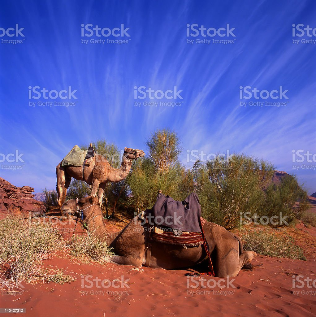 Two camels in Wadi Rum stock photo