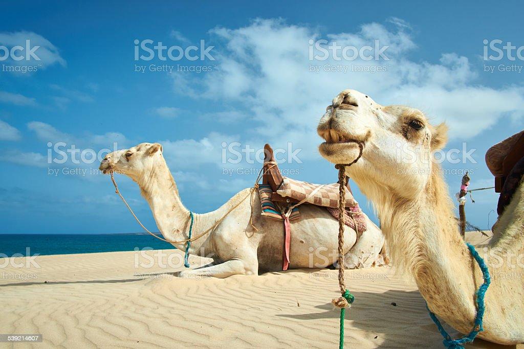 Two Camels Of Boa Vista, Cape Verde stock photo