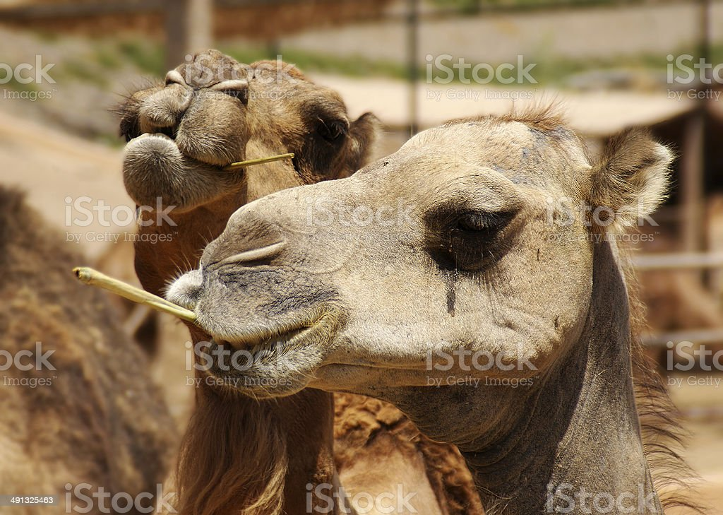 Two camels royalty-free stock photo