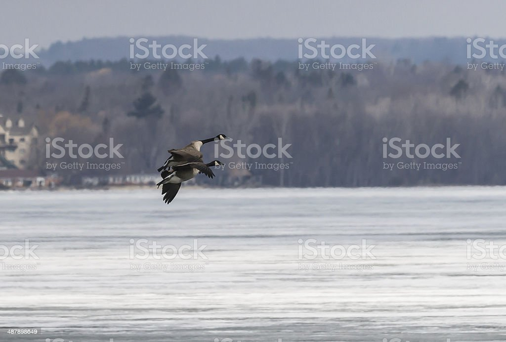 Two  Canada Geese  in Flight stock photo