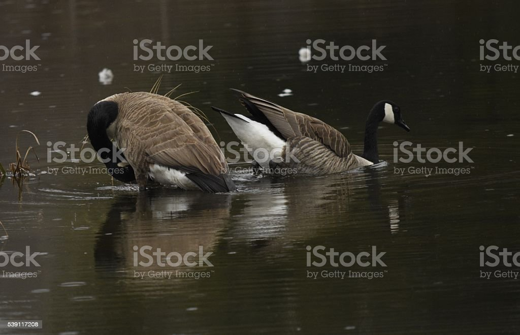 two canadian geese on a dark lake stock photo