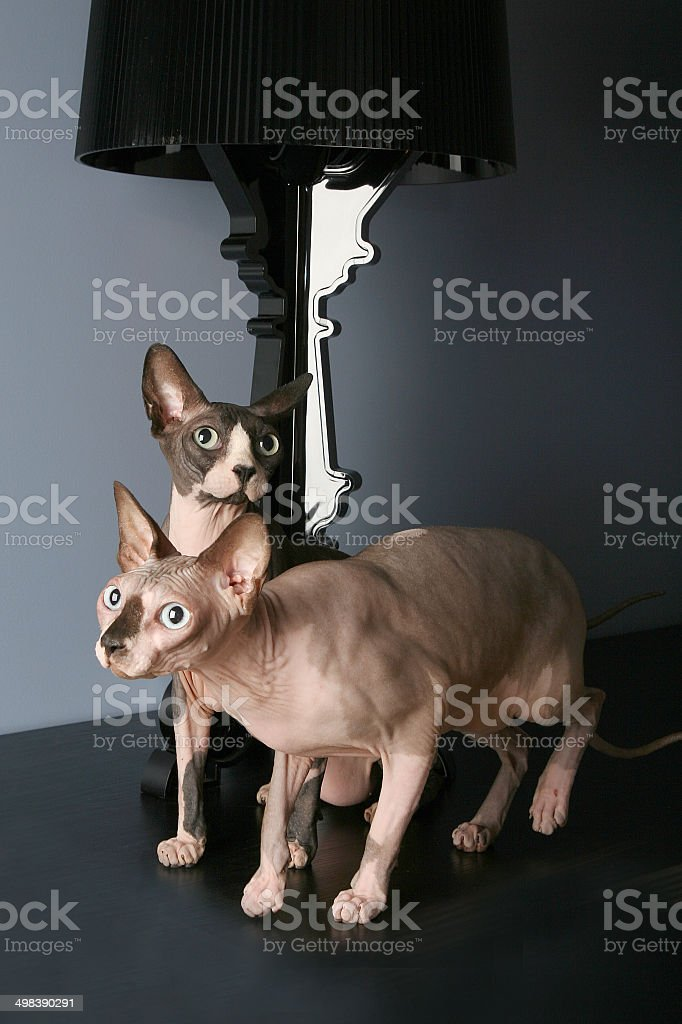 Two canadian sphynx cats  sitting in grey, luxury home interior royalty-free stock photo