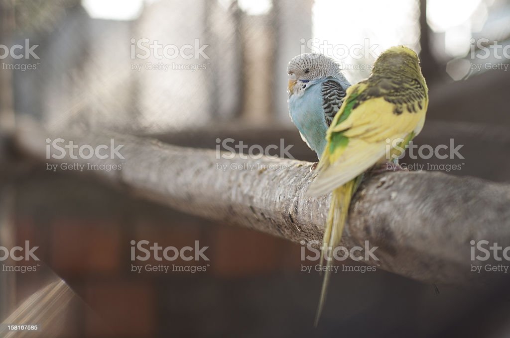 Two canary birds stock photo