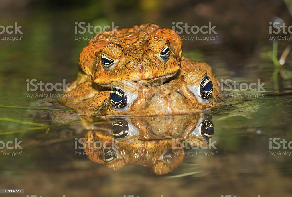 Two cane toads (Bufo marinus) mating stock photo