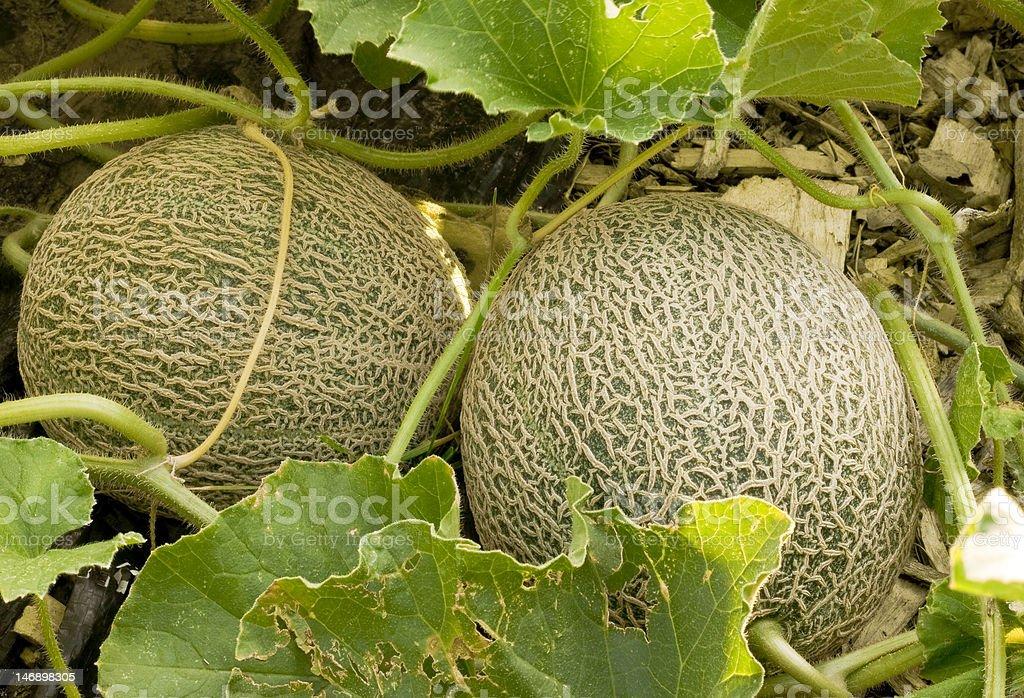 two cantaloupes stock photo