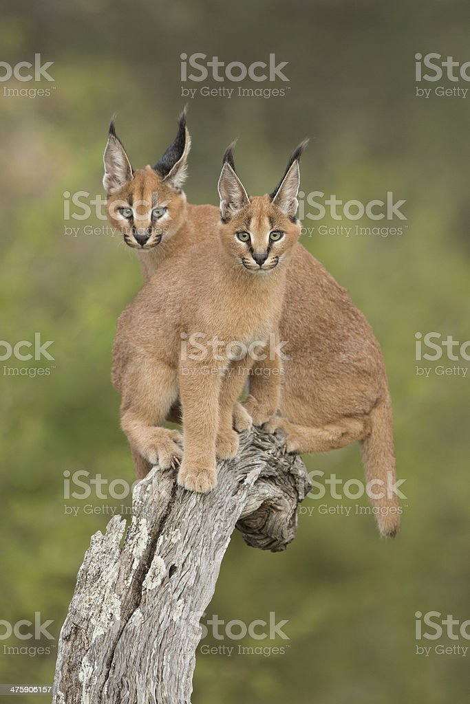 Two Caracals (Felis caracal) sitting on tree stump South Africa stock photo