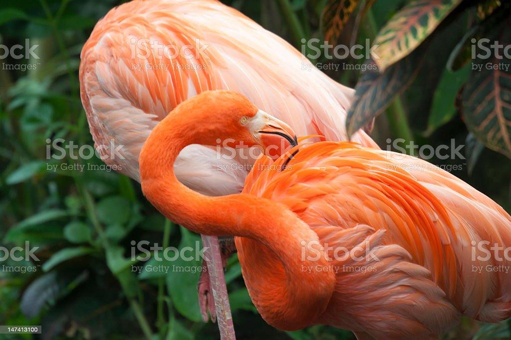 Two Caribbean Flamingos royalty-free stock photo