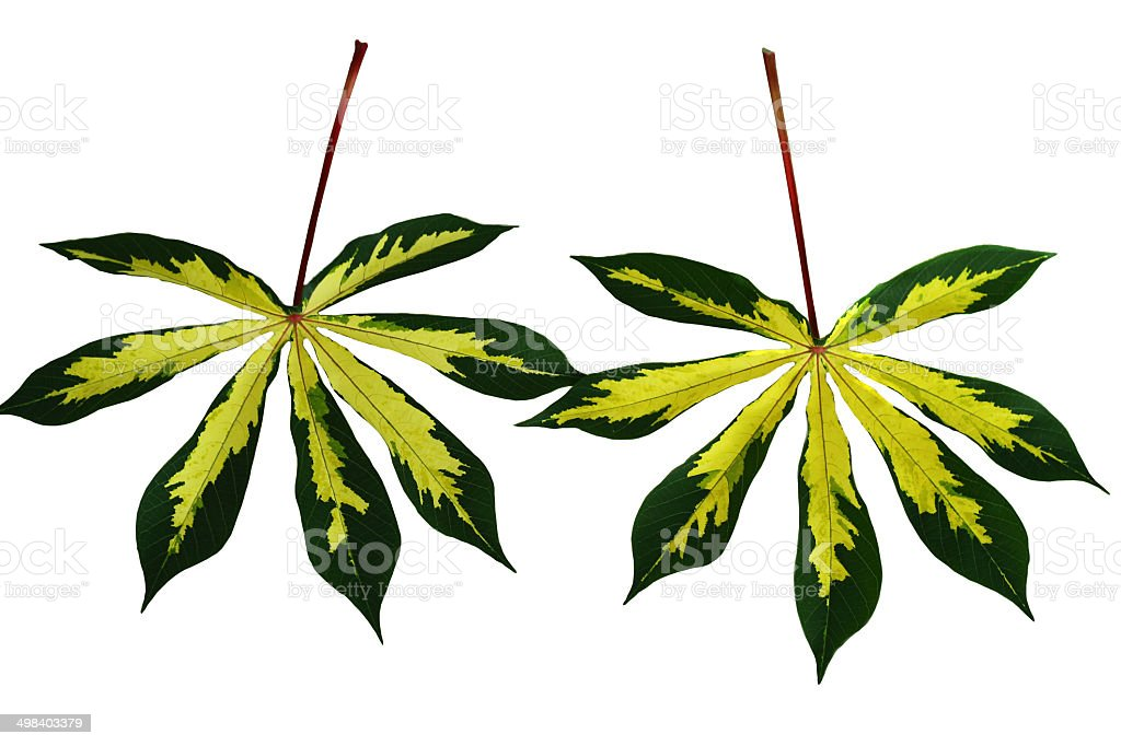 Two Cassava leaf royalty-free stock photo
