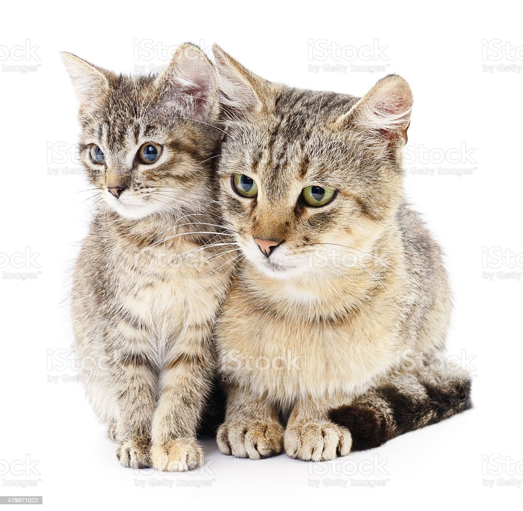 essay on domestic animal cat The domestic goat (capra hircus or capra aegagrus hircus) is a domesticated mammal it comes from the wild goat  a male goat is called a buck and a castrated goat is called a whether , a female is called a doe.