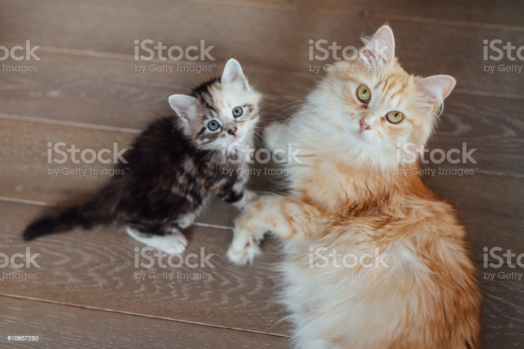 Two cats are sitting on the wooden floor and looking stock photo