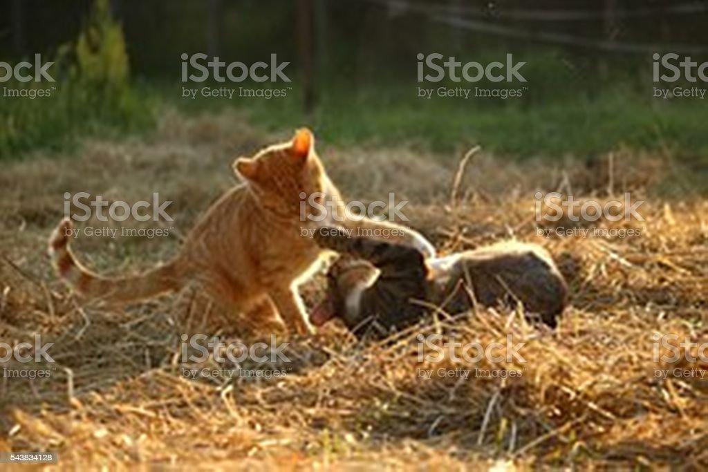 Due gatti riproduzione foto stock royalty-free