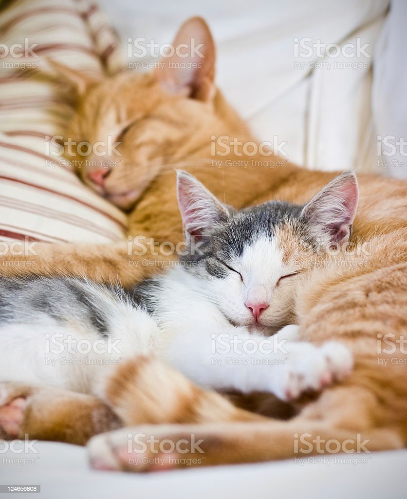 Two cats sleeping together with striped pillow stock photo