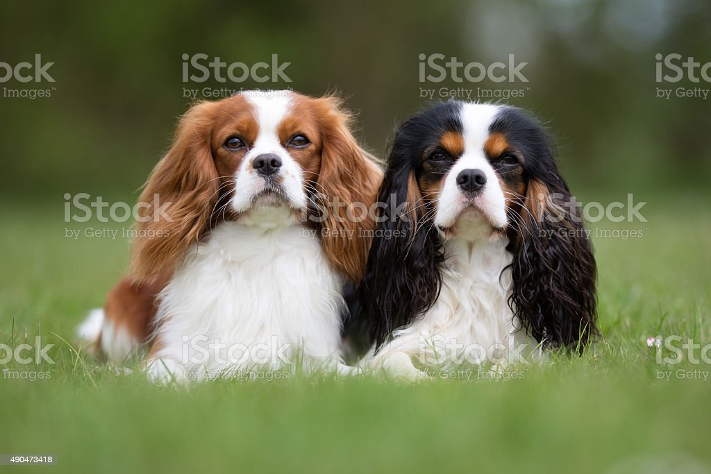 Two Cavalier King Charles Spaniel dogs outdoors in nature stock photo