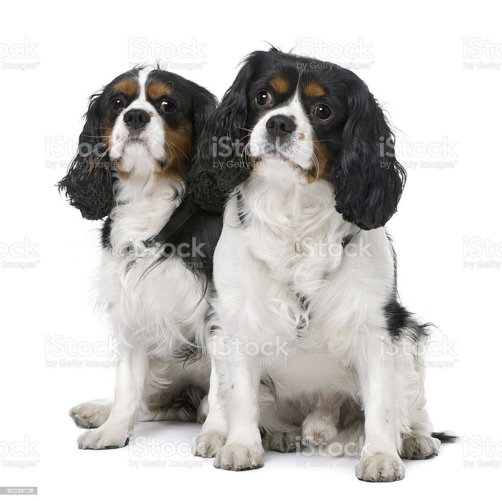 Two Cavalier King Charles Spaniel (4 and 6 years old) stock photo