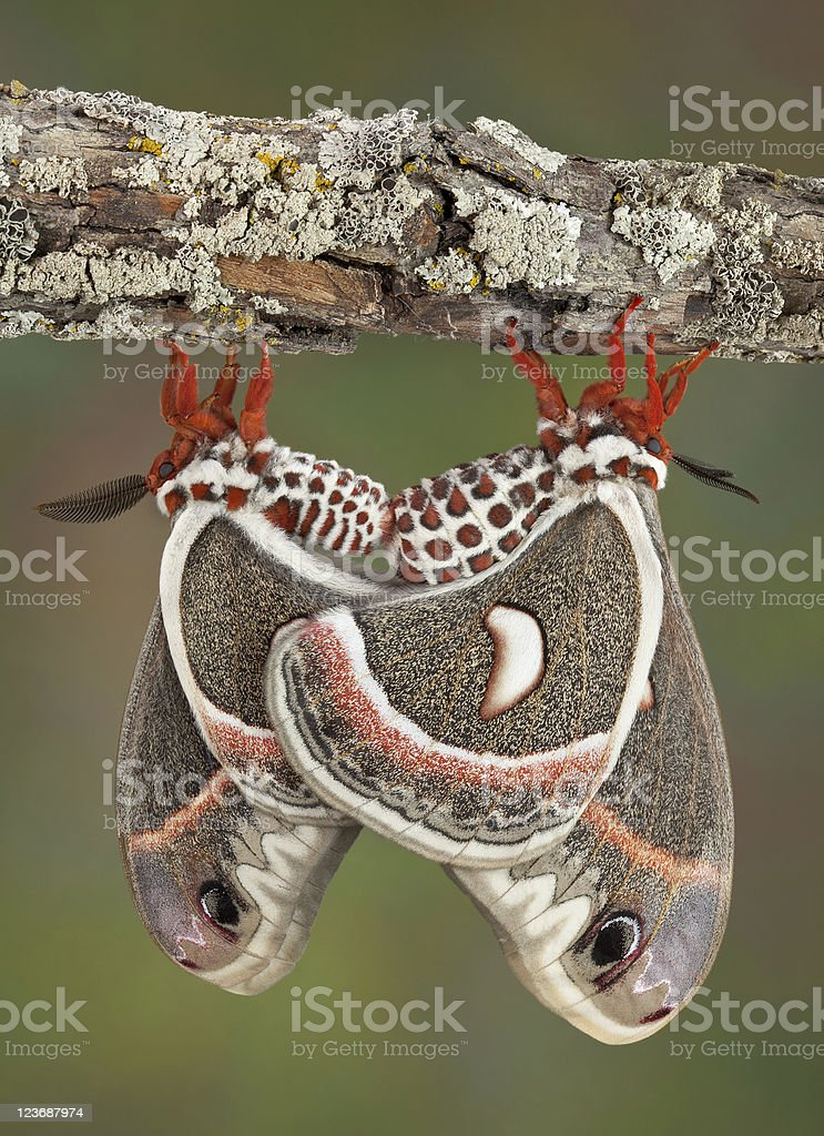 Two Cecropias mating royalty-free stock photo
