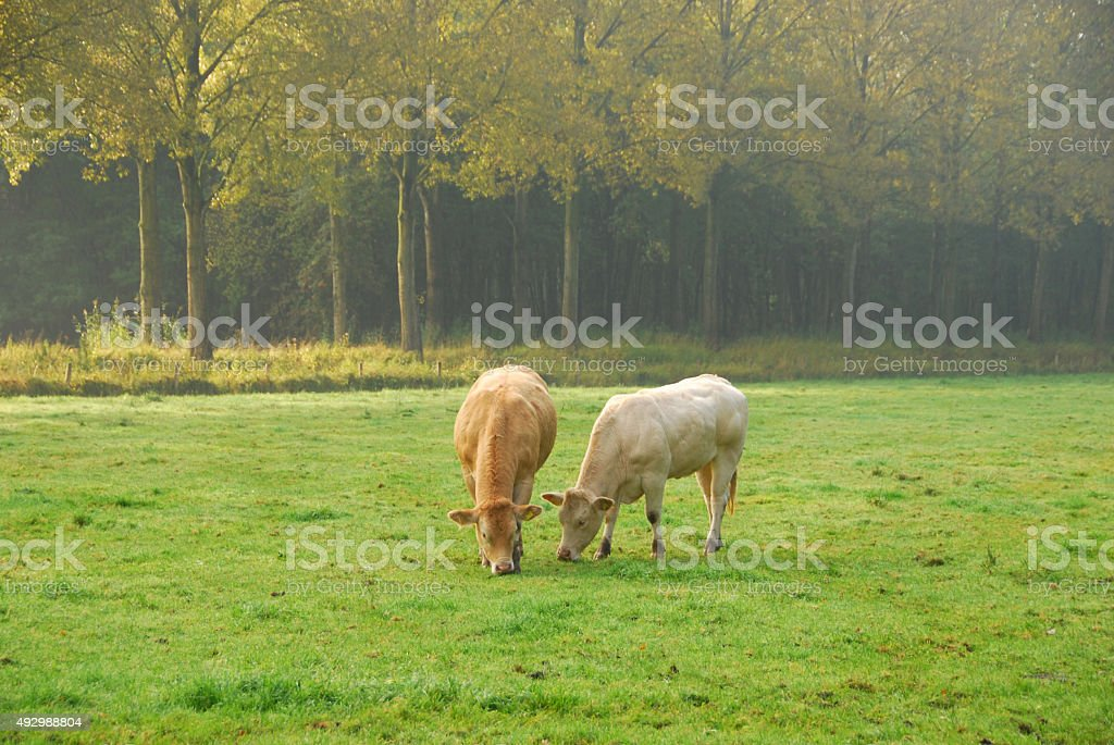Two Charolais cows grazing in a pasture. stock photo
