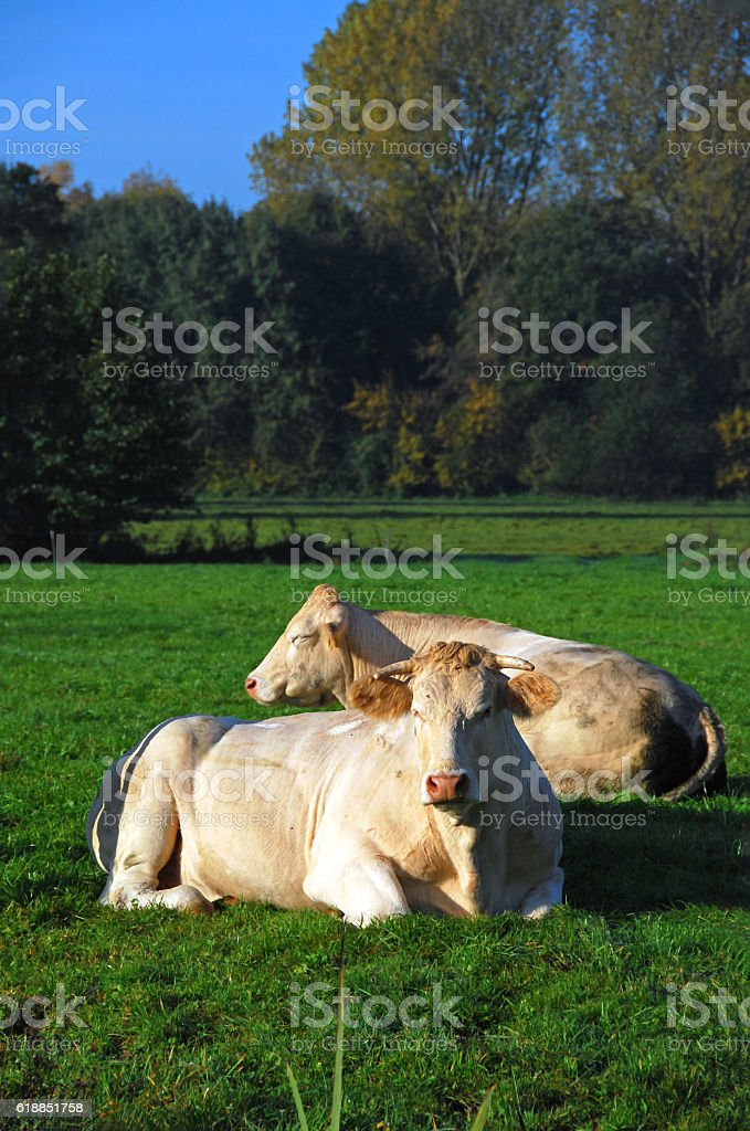 Two charolais cows laying in a Pasture. stock photo