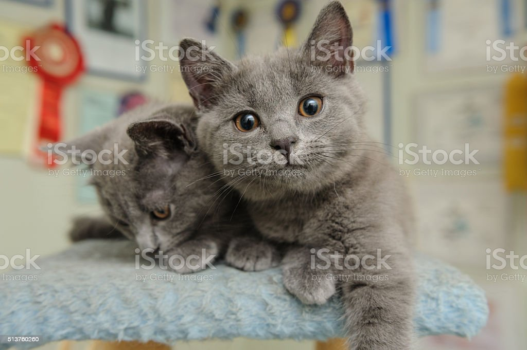 Two Chartreux cats stock photo