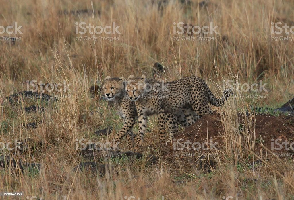 Two cheetah cubs side by side stock photo