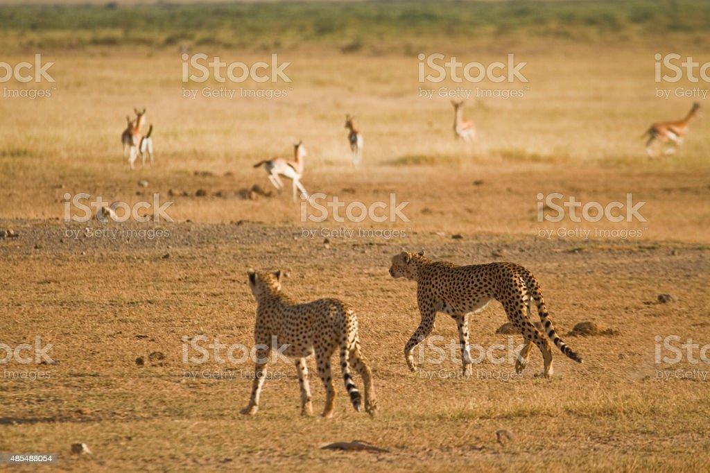 Two cheetah walking in the savannah hunting gazelle stock photo
