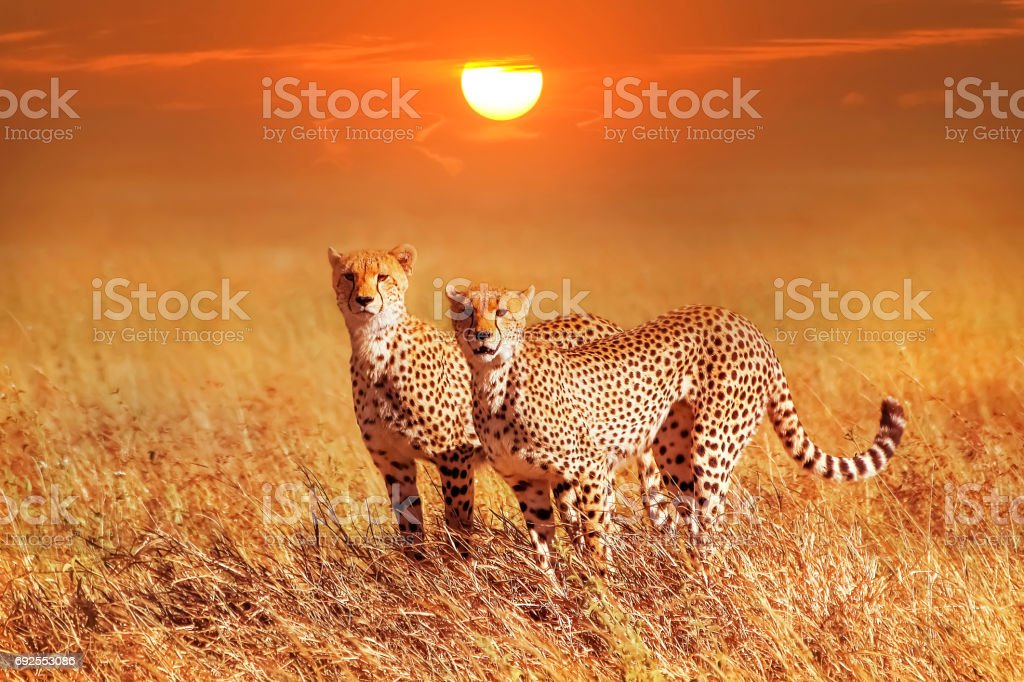 Two cheetahs in the Serengeti National Park. Synchronous position . stock photo