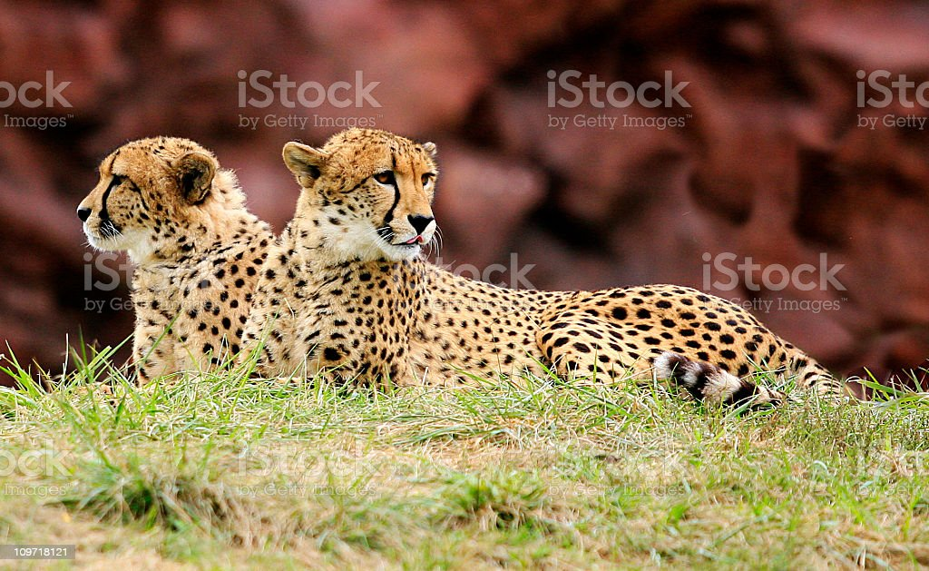 Two Cheetahs Lying in Grass and Looking Up stock photo
