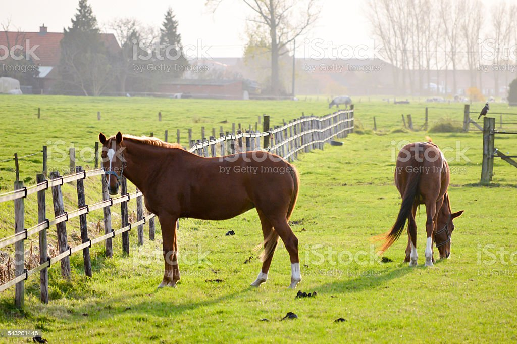 Two chestnut horses in a green paddock stock photo