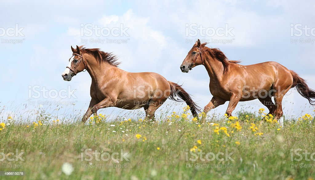 Two chestnut horses running together stock photo