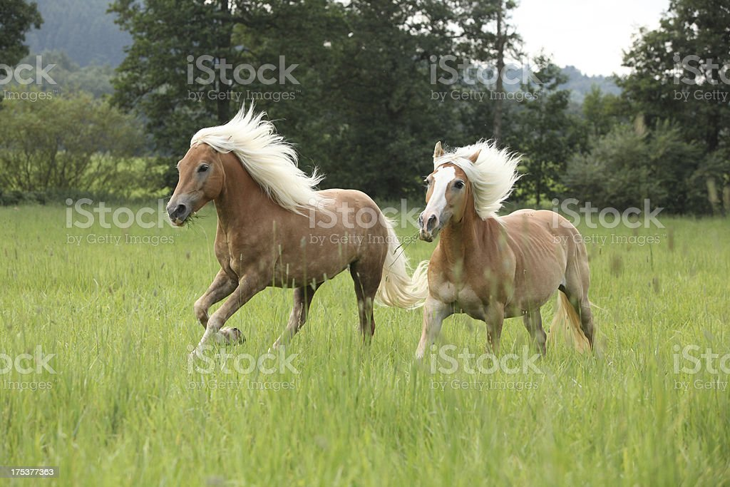 Two chestnut horses with blond mane running in nature royalty-free stock photo