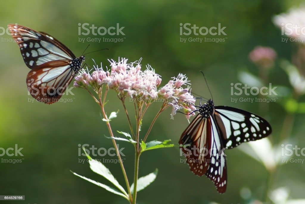 Two Chestnut tiger butterflies at the table stock photo
