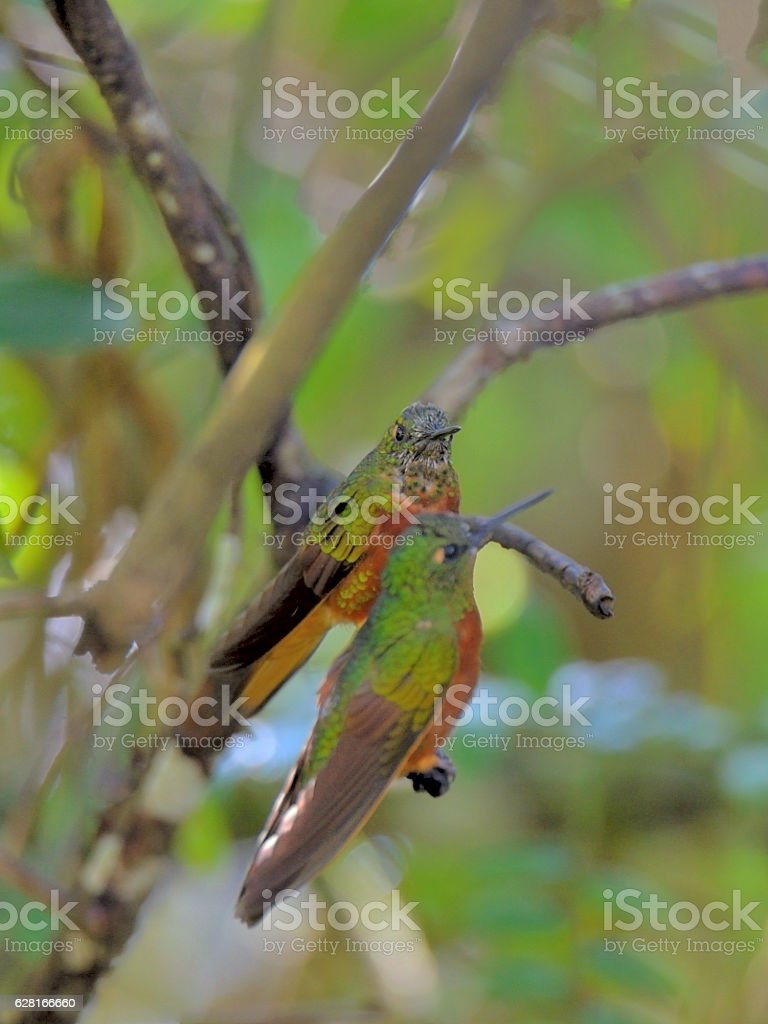 Two Chestnut-breasted Coronet Hummingbirds stock photo