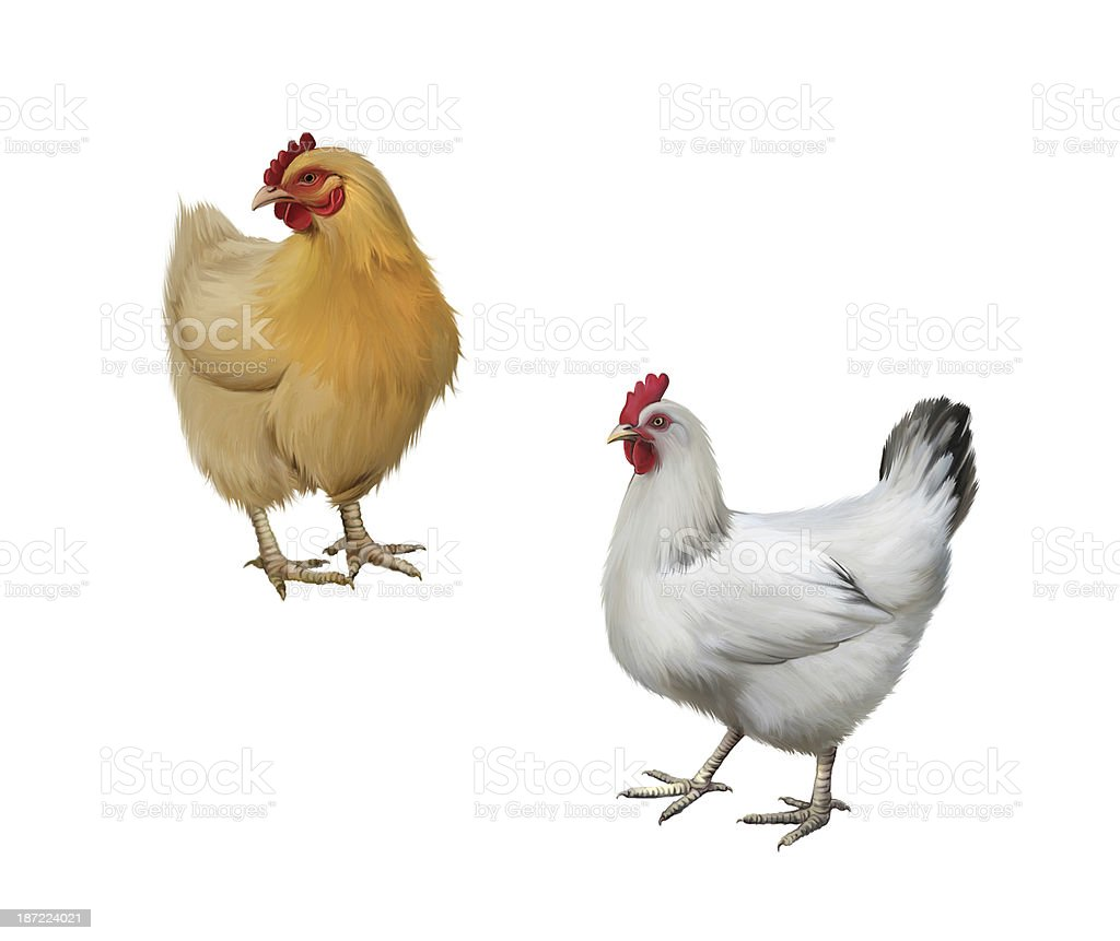 Two Chickens stock photo