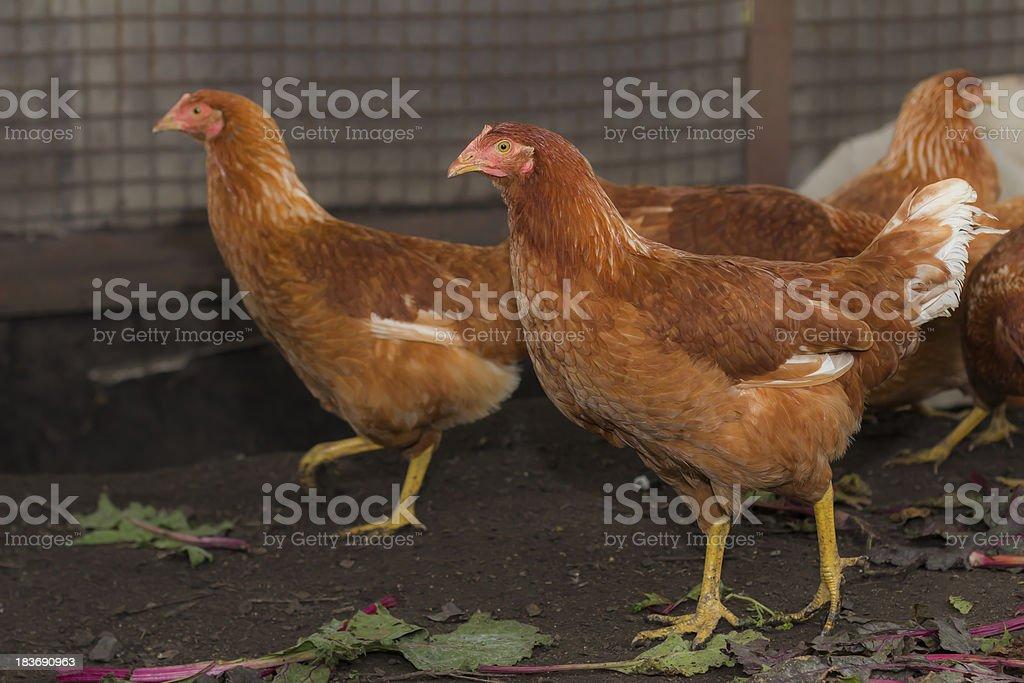 Two chickens walk around the chicken coop stock photo