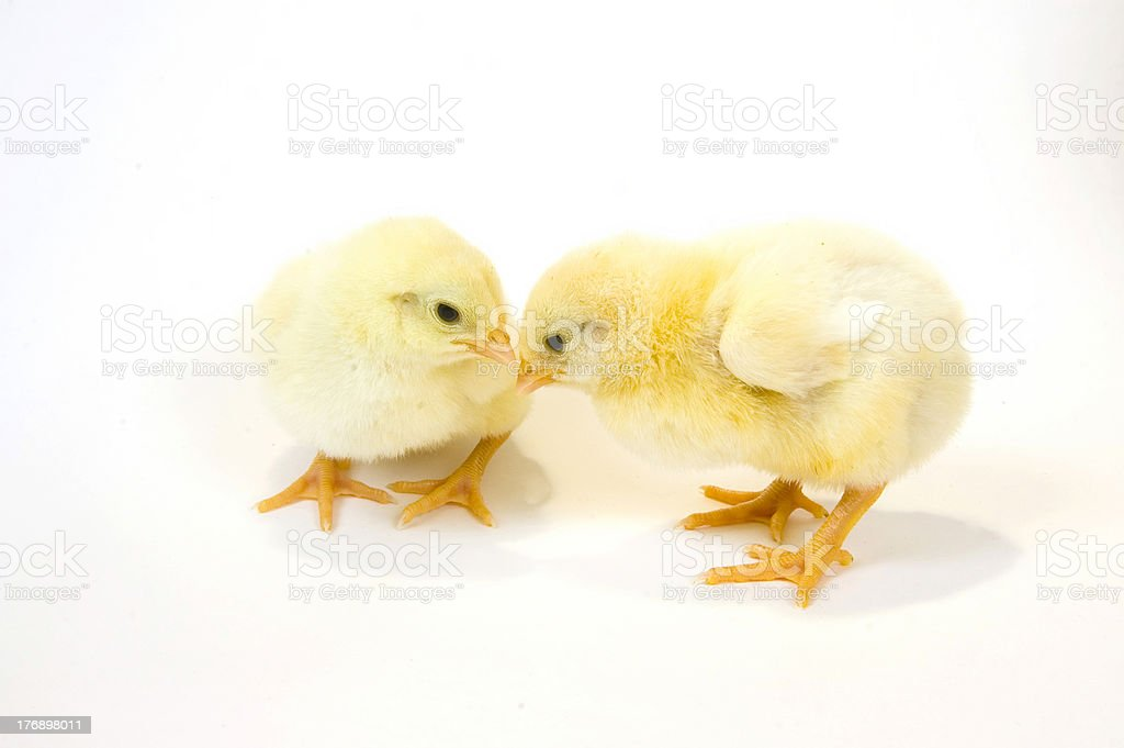 Two chicks looking at each other royalty-free stock photo