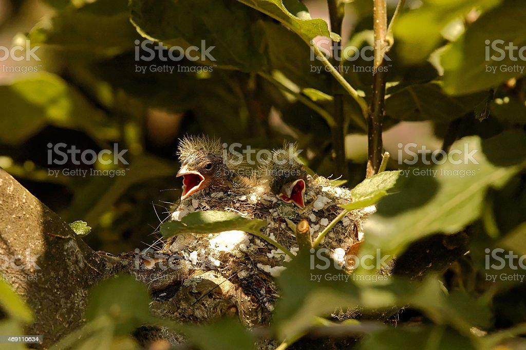 Two chicks of the chaffinch in the nest stock photo
