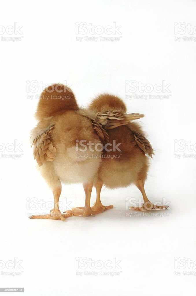 Two chicks on white helping royalty-free stock photo