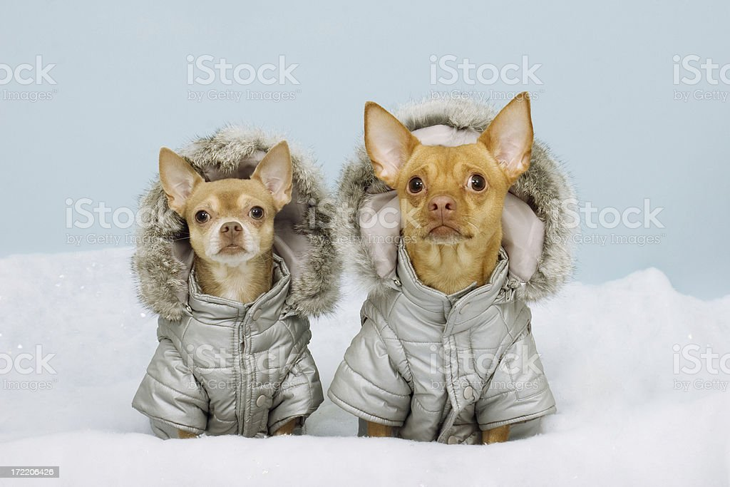 Two Chihauhaus Wearing Winter Coats stock photo