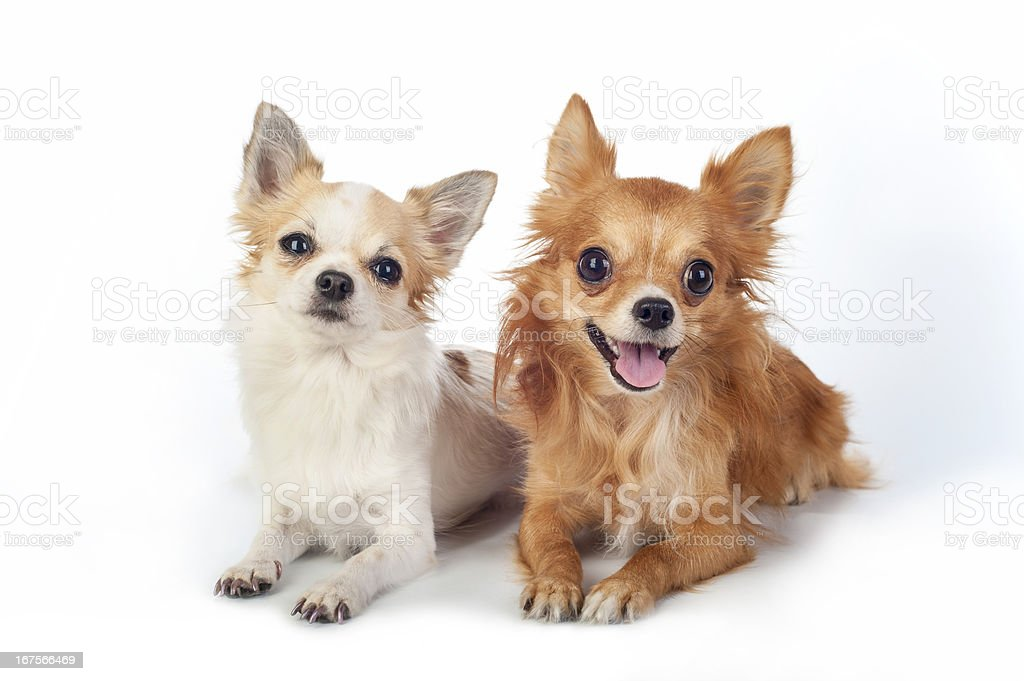 two chihuahua   dogs looking at camera royalty-free stock photo