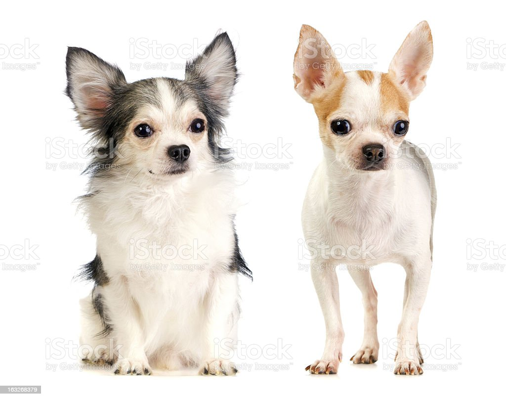 Two Chihuahua long-haired and short-haired royalty-free stock photo