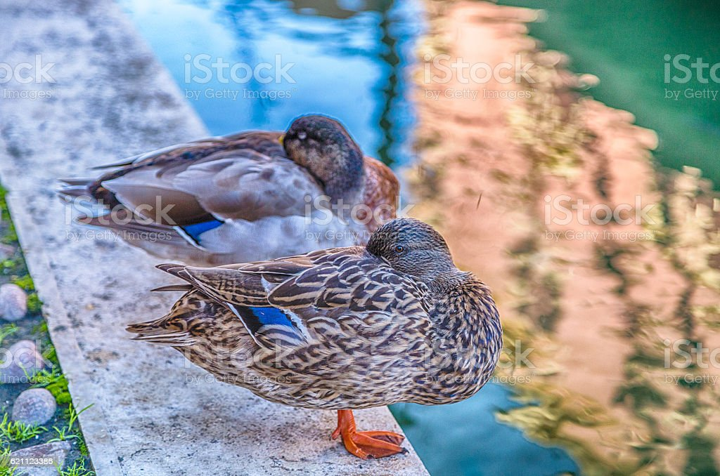 two chilled ducks stock photo