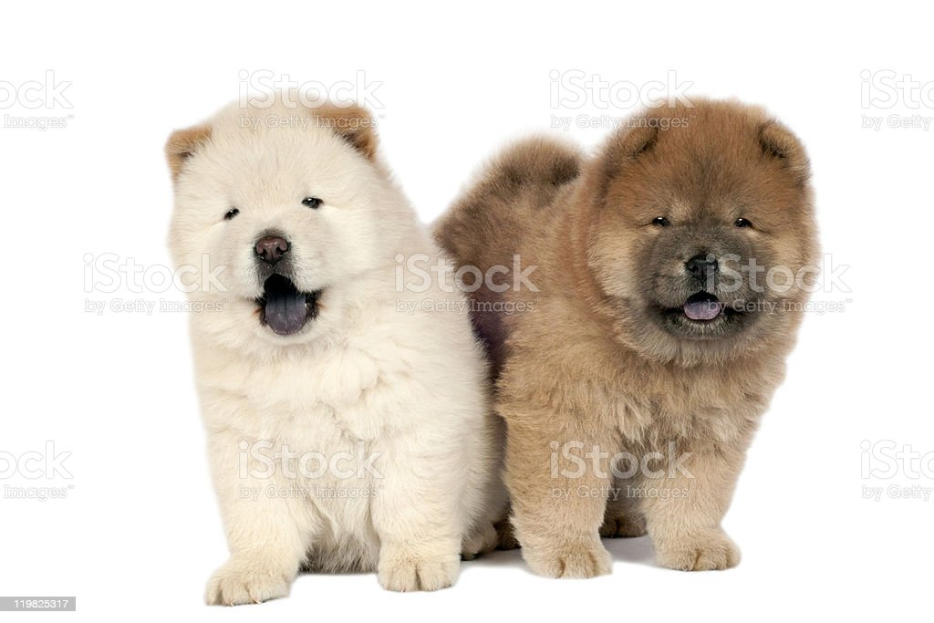 Two Chow-chow puppies. stock photo