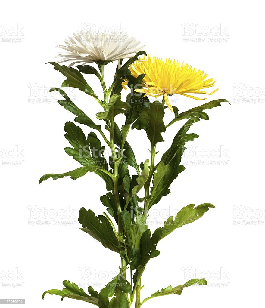 Two chrysanthemums. Isolated  on white royalty-free stock photo
