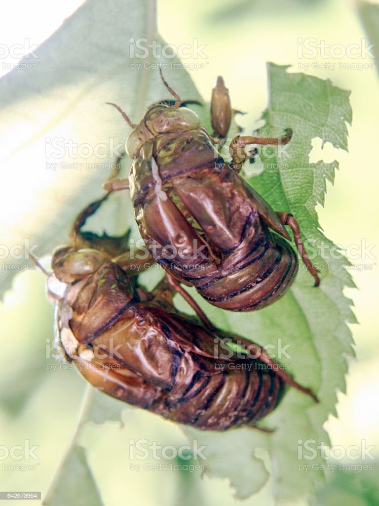 Two cicada slough stock photo