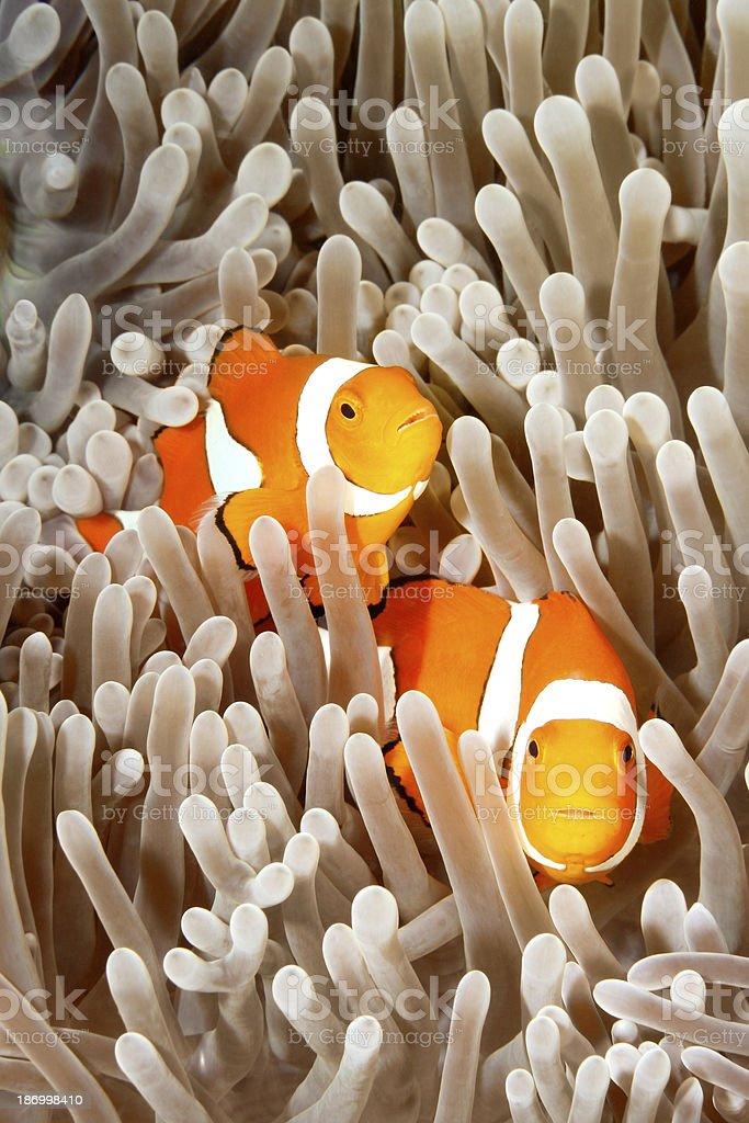 Two Clownfish royalty-free stock photo