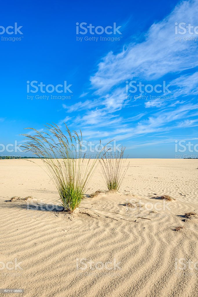 Two clumps of purple moor grass in a desertlike area stock photo