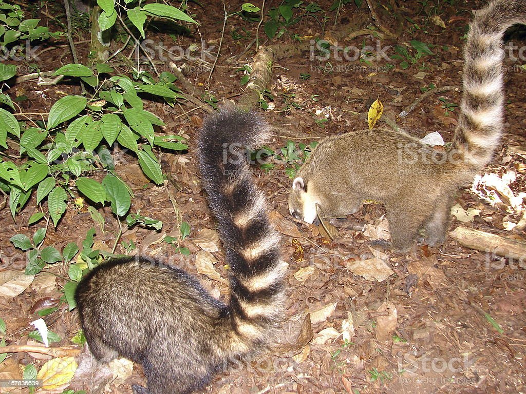 Two Coaties searching for food stock photo
