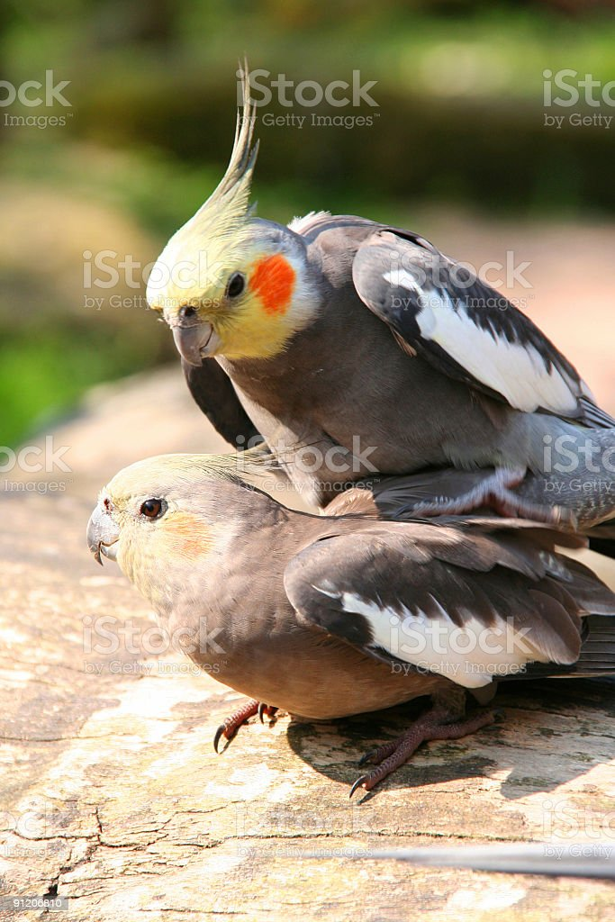 two cockatiels making love stock photo