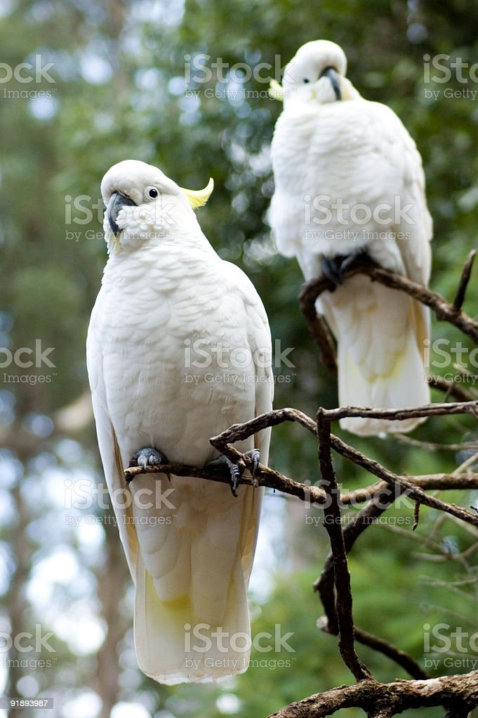 Two Cockatoos royalty-free stock photo